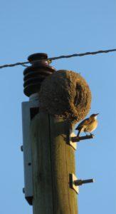 Hornero con su nido Ovenvogel en nest