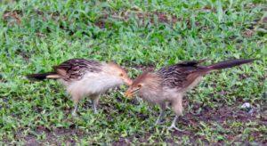 Lelijke vogels / pajaros feos