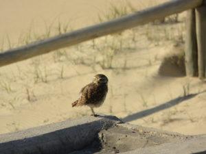Uil / lechuza playa